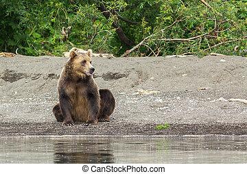 marrón, oso, en, el, orilla, de, Kurile, lago