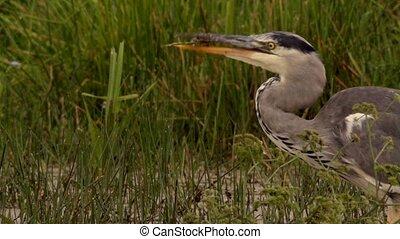 grey heron hunting at a lake