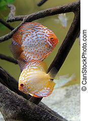 two discus fish in aquarium