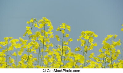 rape flowers against blue sky - rape flowers in frotn of...