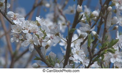different stages of blossom close in front of blue sky