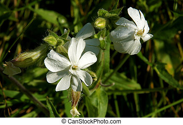 campion, blanco, flores