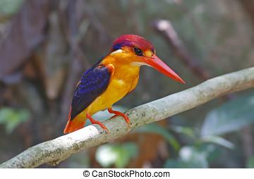 Oriental Dwarf Kingfisher Birds of Thailand