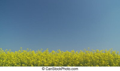 rapefield with place for your text in blue sky