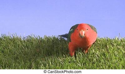 kingparrot in grass