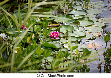 Beautiful water lily in pond at park