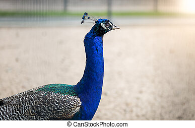 Image of peacock head with blue plumage - Closeup image of...