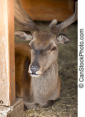 Closeup of male deer lying - Closeup image of male deer...