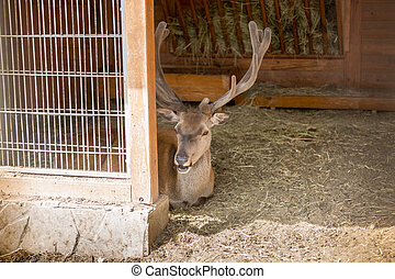 Beautiful deer with antlers lying in paddock at zoo -...