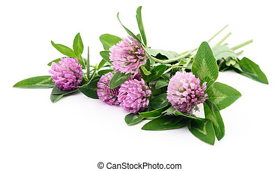 clover isolated on white - red clover (trifolium pratense)...