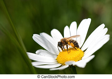 bee, pollen and daisy