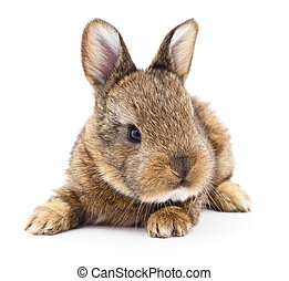 Brown bunny rabbit - Isolated image of a brown bunny rabbit...