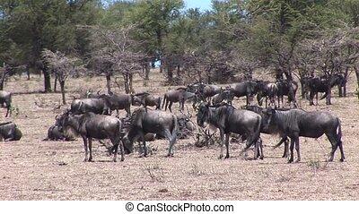 Wild Antelope in African Botswana - Botswana wild Africa...