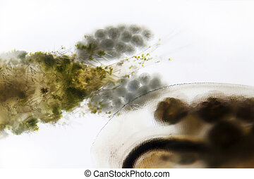 Plankton - Microphoto of a water flea