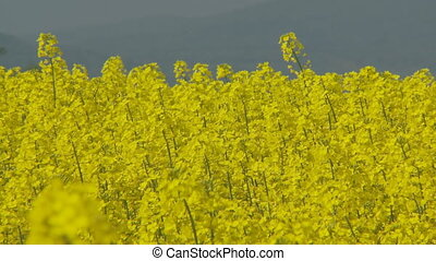 rapefield in the wind - colorful rapefield in wind with blue...