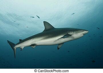 Dangerous big Shark Underwater diving sea picture