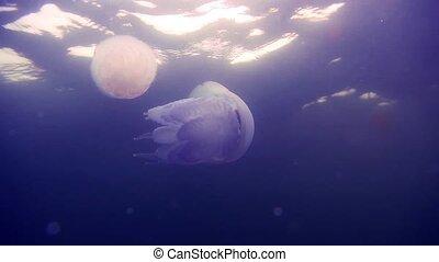 Beautiful sea jellyfish floating in the dark water sea