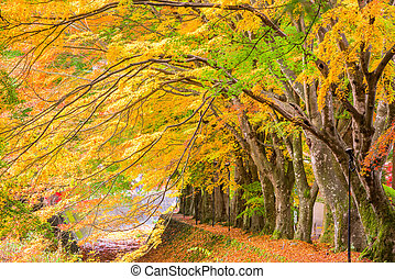 Maple Leaf Corridor - Maple Corridor near Kawaguchi Lake and...