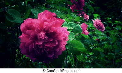 Very beautiful rose in the garden closeup after dark - The...