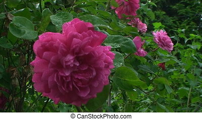 The wind flapped delicate petals and green leaves of a rose covered with droplets of rain