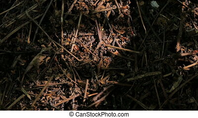 The life of an ant hill in a summer forest. - The life of an...