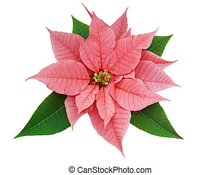 Red and Green - Poinsettia Euphorbia pulcherrima isolated...