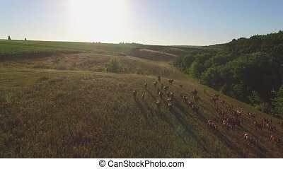 Horses on grassland. Herd is running in slo-mo. Strive to...
