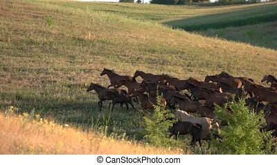 Horses run in slow motion. Horse herd on grassland. Not a...