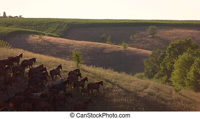 Horse herd runs in slo-mo. Group of animals on hill....