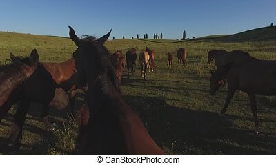 Horses walk in slo-mo. Flock of horses on field. Reach the...