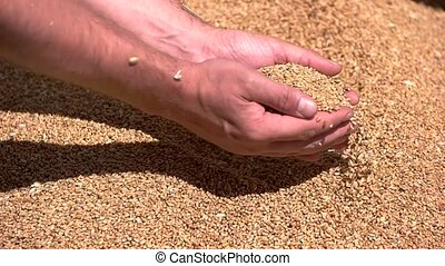 Hands take grain in slow-mo. Heap of yellow grains. Farmer...