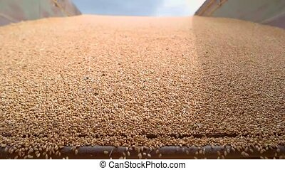 Grains fall in slow motion. Lots of yellow grain. Harvest...