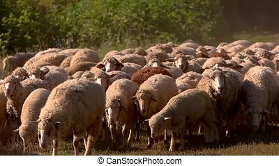 Sheep herd walking in slow-mo Domestic animals on grassland...