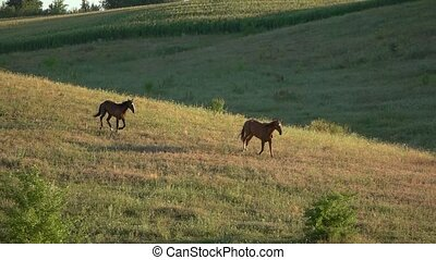 Two horses running in slo-mo. Pair of animals on grassland....