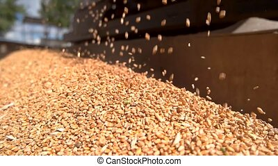Grains falling in slow motion. Pile of yellow grain. Rich...