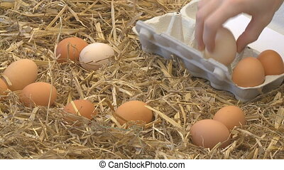 gathering eggs from strow into box