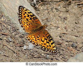 Mormon Fritillary butterfly - Speyeria mormonia