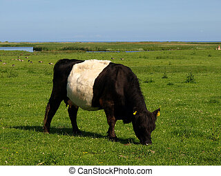 Belted Galloway on green meadow