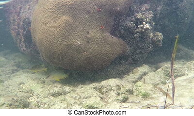 Yellow tail snapper and coral rock - Key West Florida yellow...