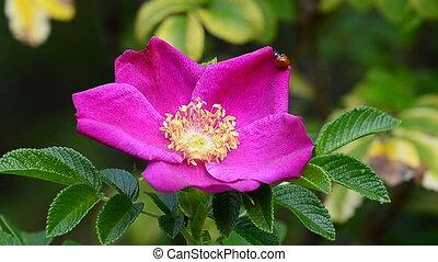 Ladybug crawling on a flower rose - Red ladybug crawling on...