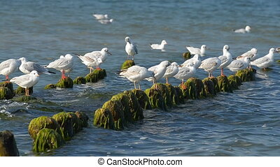 Gulls preen their feathers on the breakwater - Seagulls sit...