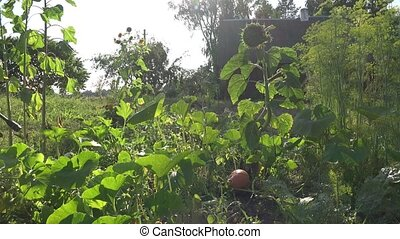 Farmer cowboy man spraying pumpkin in farm. Chemical...