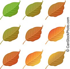 Autumn poplar leaves set, isolated on white background....