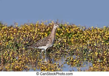 Ruff Philomachus pugnax - Ruff standing in vegetation and...