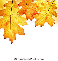 Autumn leaves of oak tree isolated on white background
