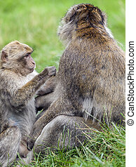Young Barbary Macaque Macaca sylvanus grooming adult male -...