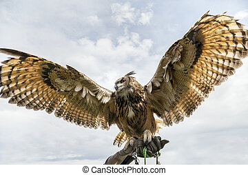 Eurasian eagle-owl displays it's huge wing span. Shot from...