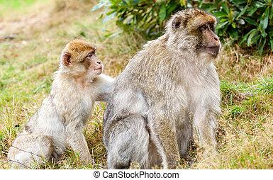 Barbary Macaques Macaca sylvanus, grooming - Barbary...