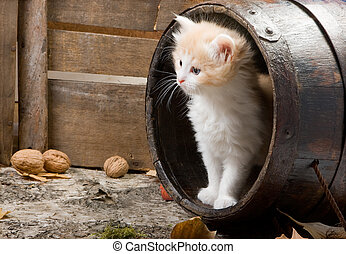 Kitten in a barrel - Six weeks old kitten in a wooden barrel