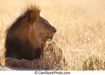 Lion (panthera leo) in savannah - Lion (panthera leo) lying...